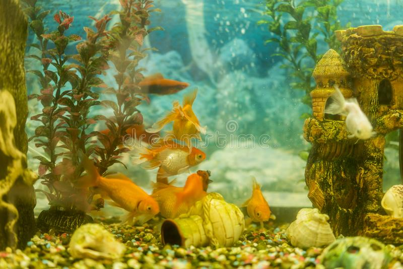 Multicolored fish in the aquarium. Goldfish in freshwater aquarium with green beautiful planted tropical. fish in freshwater royalty free stock photos