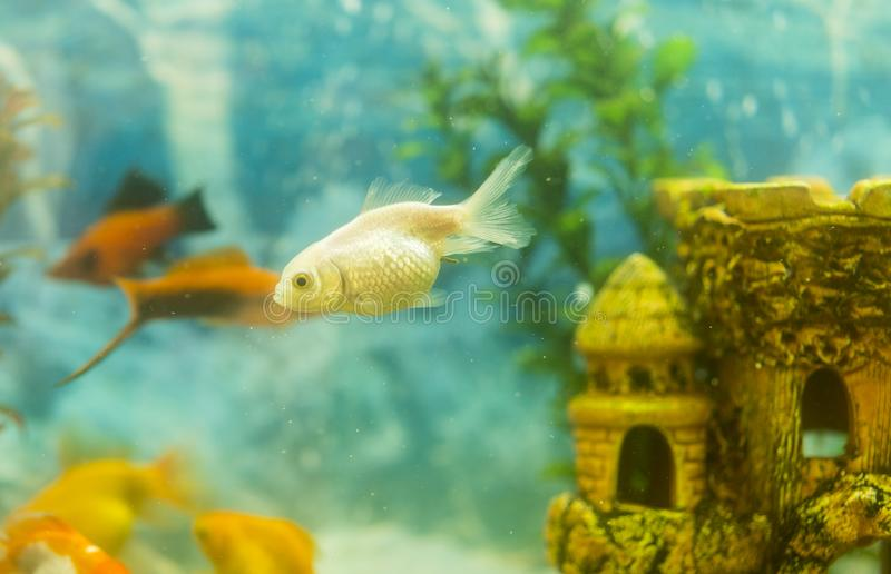 Multicolored fish in the aquarium. Goldfish in freshwater aquarium with green beautiful planted tropical. fish in freshwater. Aquarium with green beautiful royalty free stock images
