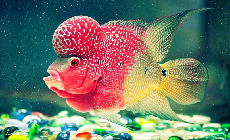 Multicolored fish with strange shapes in an aquarium. With colored stones on the bottom. Seen from the side stock image