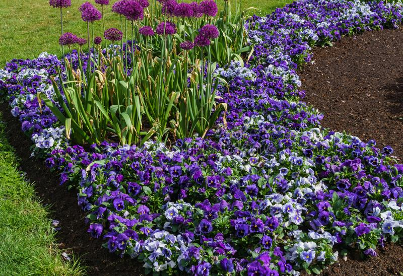 Multicolored flower beds of pansies and other flowers in the city park stock photos