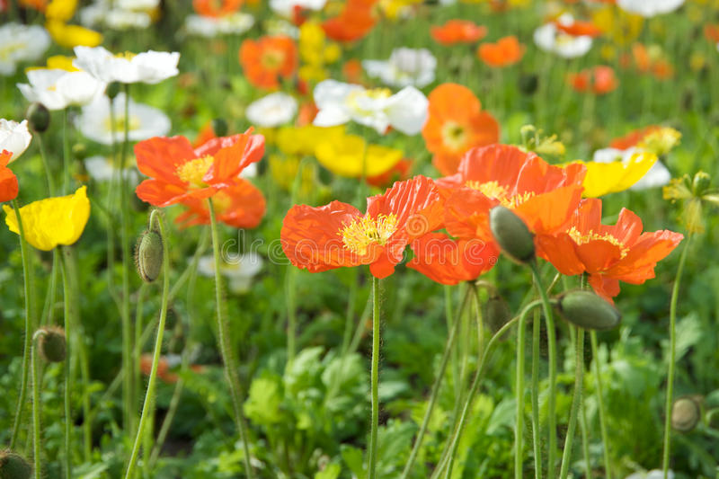 Download Multicolored flowers stock image. Image of colorfull - 13541629