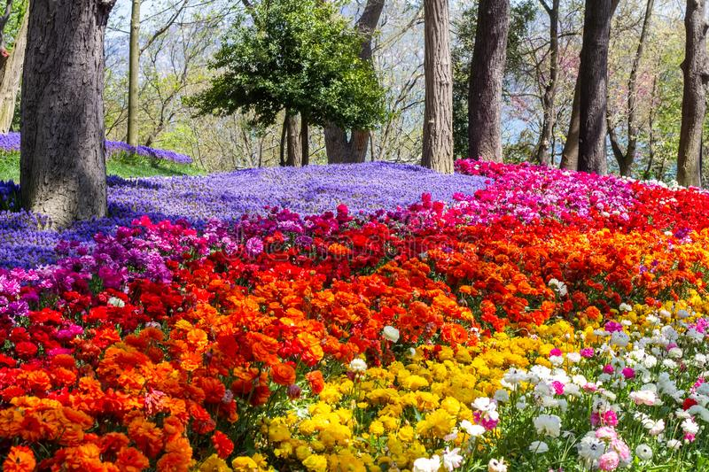 Multicolored flowers in Emirgan Park at the Tulip Festival in Istanbul, a bright colorful spring background royalty free stock image