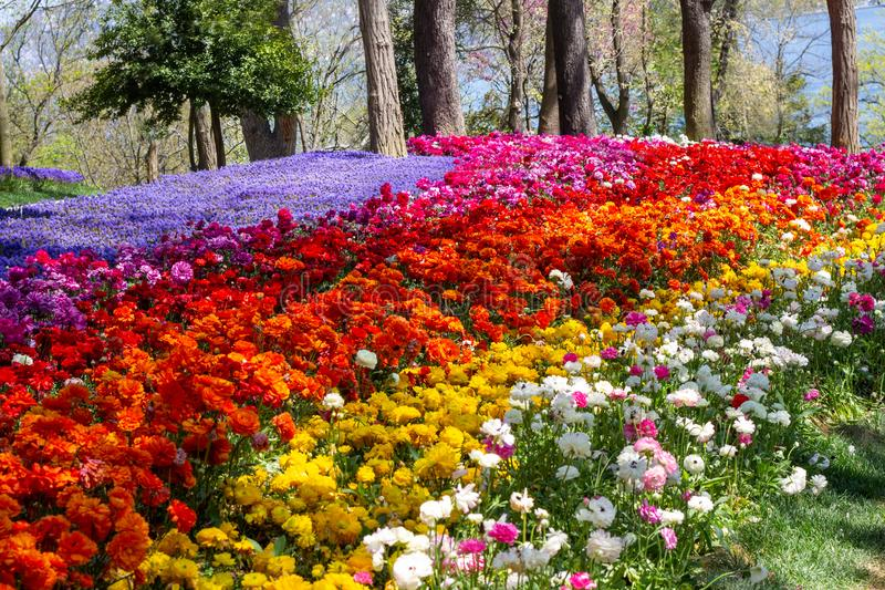 Multicolored flowers in Emirgan Park at the Tulip Festival in Istanbul, a bright colorful spring background royalty free stock photography