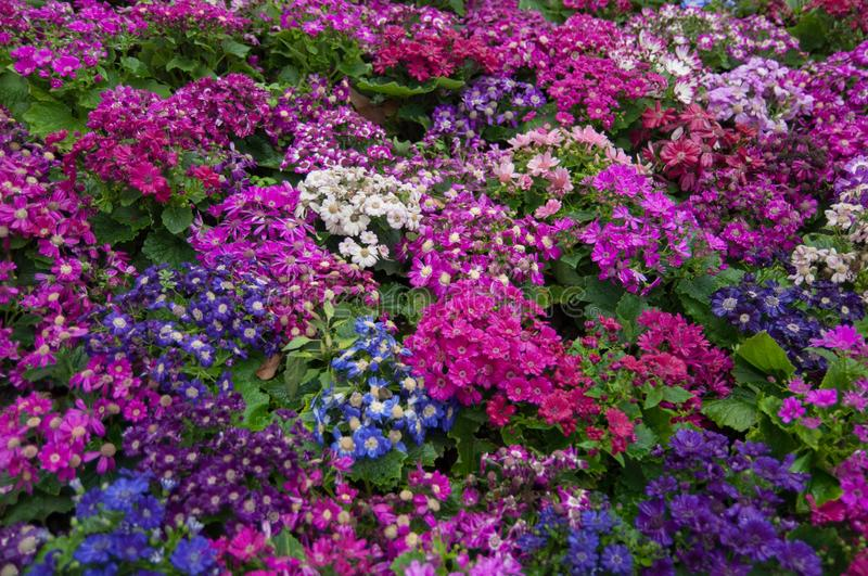 Multicolored flowerbed full bloom in spring royalty free stock photography