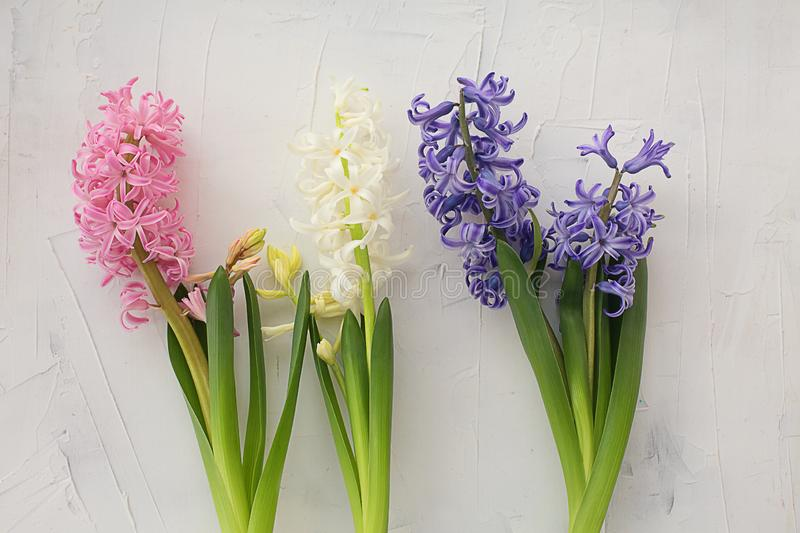 Multicolored fragrant fresh hyacinth on a white background. Flowers composition. Flat lay, copy space, top view royalty free stock photography
