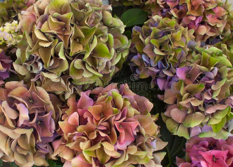 Multicolored French hydrangea royalty free stock photos
