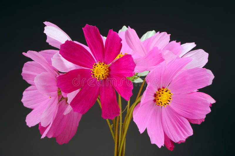 Multicolored Garden Cosmos Flowers On Dark Background Stock Photo ...