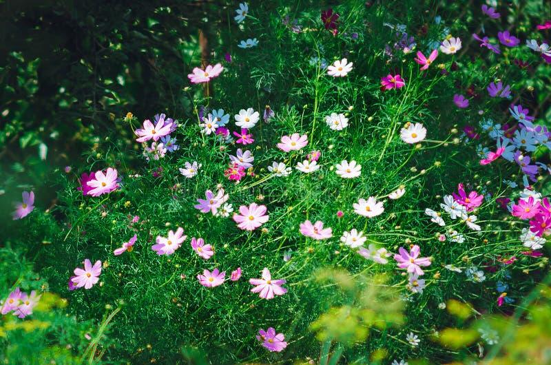 Multicolored garden daisies. Cosmos flowers royalty free stock photos