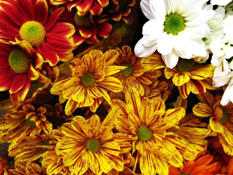 Multicolored Gerbera Daisies stock images