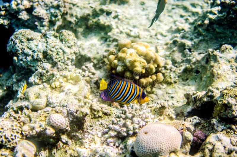 Multicolored gestreepte zeeëngel in de wateren van het Rode Overzees royalty-vrije stock afbeelding