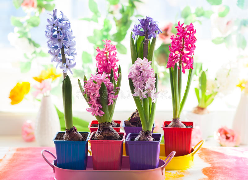 Multicolored hyacint royalty-vrije stock afbeelding