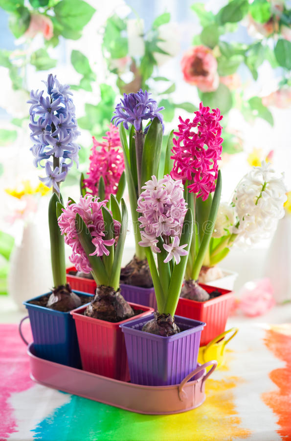 Multicolored hyacint royalty-vrije stock afbeeldingen