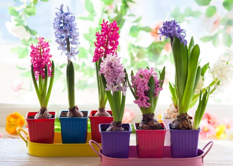 Multicolored hyacint royalty-vrije stock foto