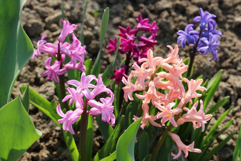 Multicolored hyacinten kwamen tot bloei royalty-vrije stock foto