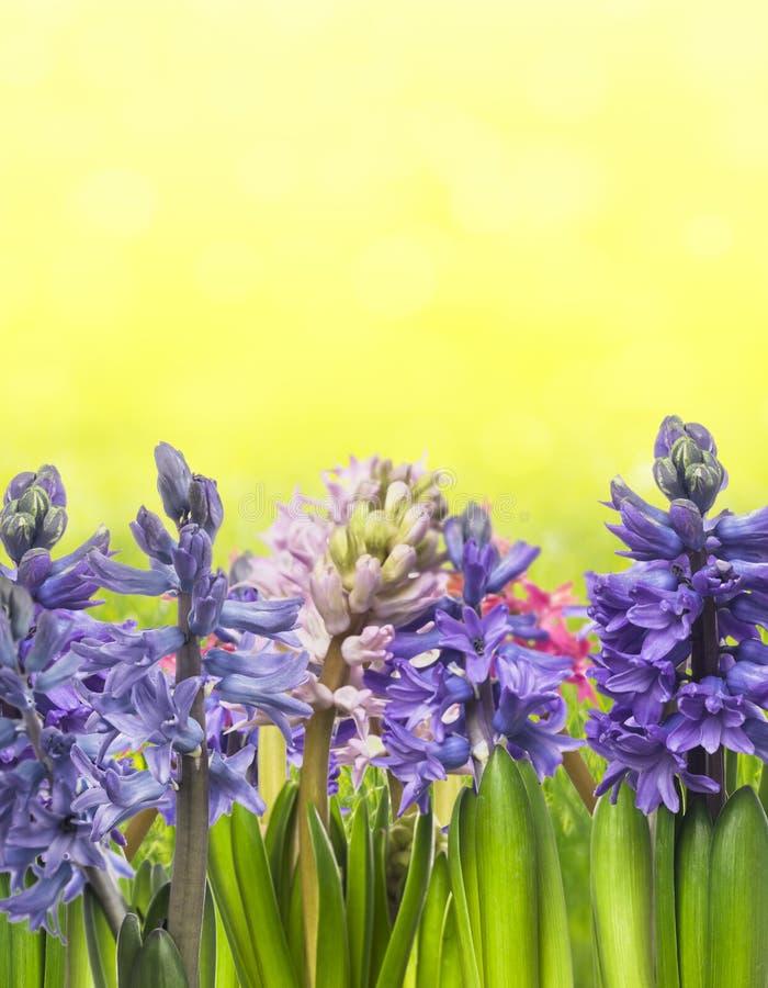 Multicolored hyacinten op gele achtergrond royalty-vrije stock afbeeldingen