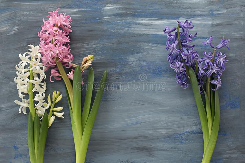 Multicolored hyacinths on a blue textural background. Fresh bright spring multicolored hyacinths on a blue textural background. Flat lay, copy space, top view stock photography