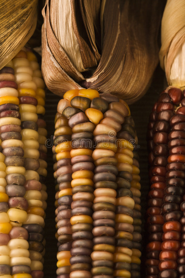 Multicolored Indian corn. stock photography