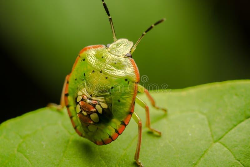 Multicolored Insect van het Schild royalty-vrije stock foto