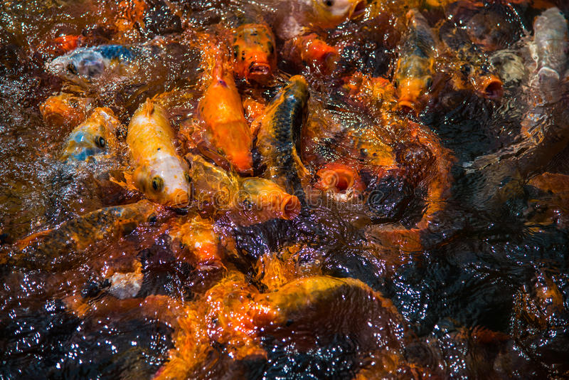 Multicolored Koi Fish royalty-vrije stock foto's