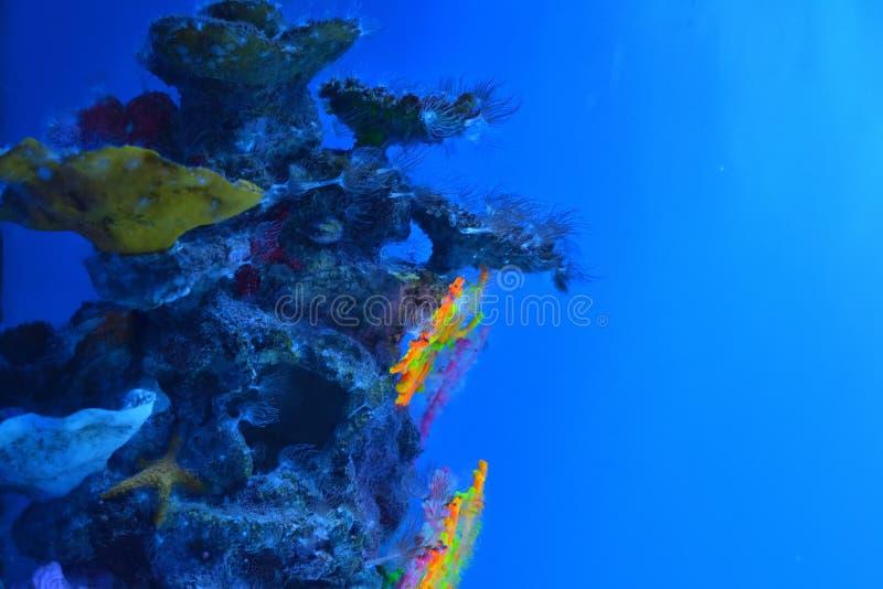Multicolored koralen op mos-behandelde rotsen, algen bij de diepten stock foto