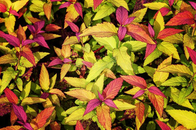 Multicolored leaves of garden plants. Outstanding colorful, multicolor and leaf-shaped texture. Ornamental plants. Close up, natural sunlight stock images