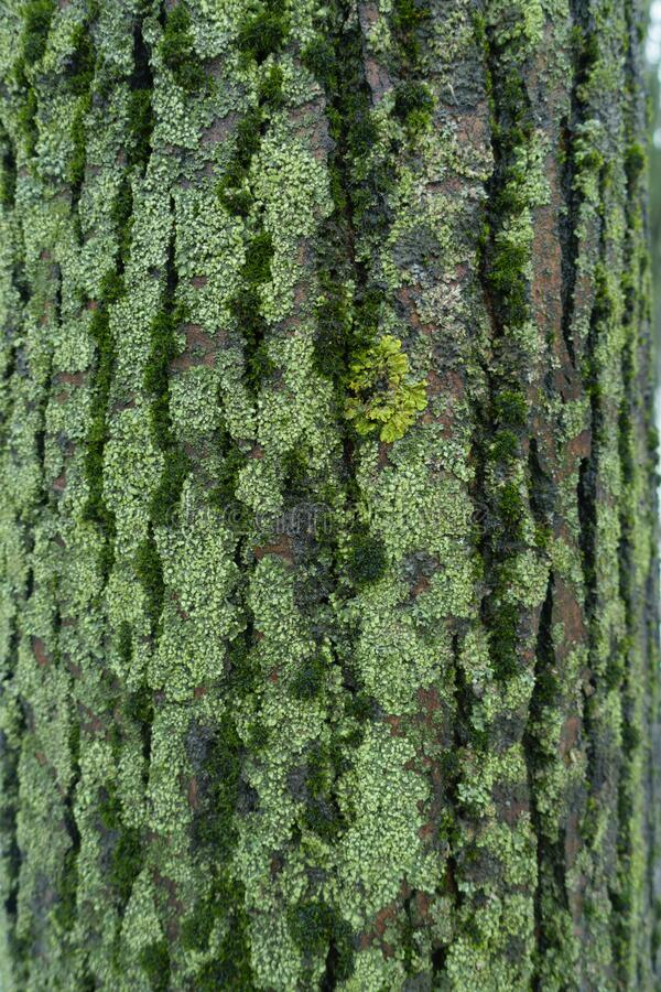 Multi Colored Lichen And Moss Covering Surface Of Tree Bark Stock