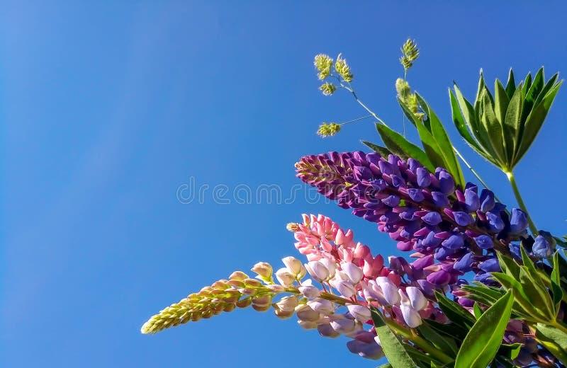 Multicolored lupines tegen de blauwe hemelbloei stock afbeeldingen