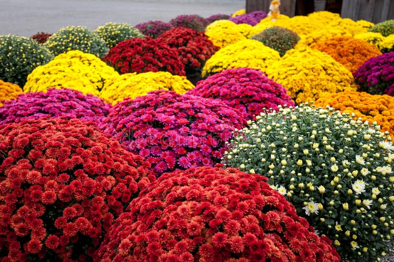 Multicolored mums. Autumn beautiful flowers in exceptional time, full bloom chrysanthemum royalty free stock photo