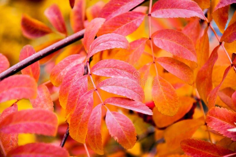 Multicolored paint autumn Rowan stock photo