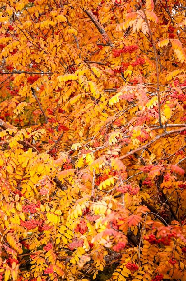 Multicolored paint autumn Rowan stock photography