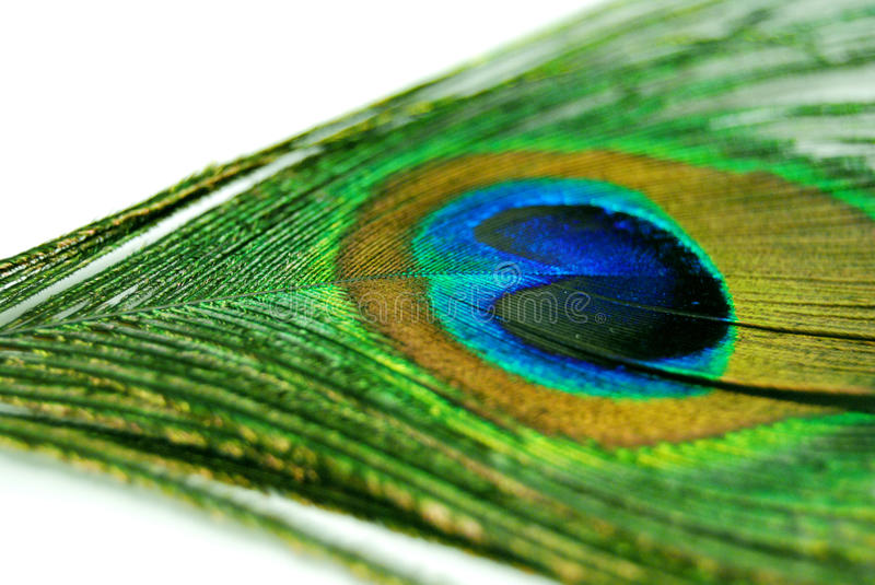 Multicolored peacock feather isolated on white background stock images