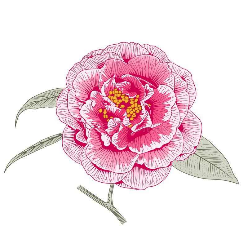 Multicolored pink camellia rose double form flower royalty free illustration
