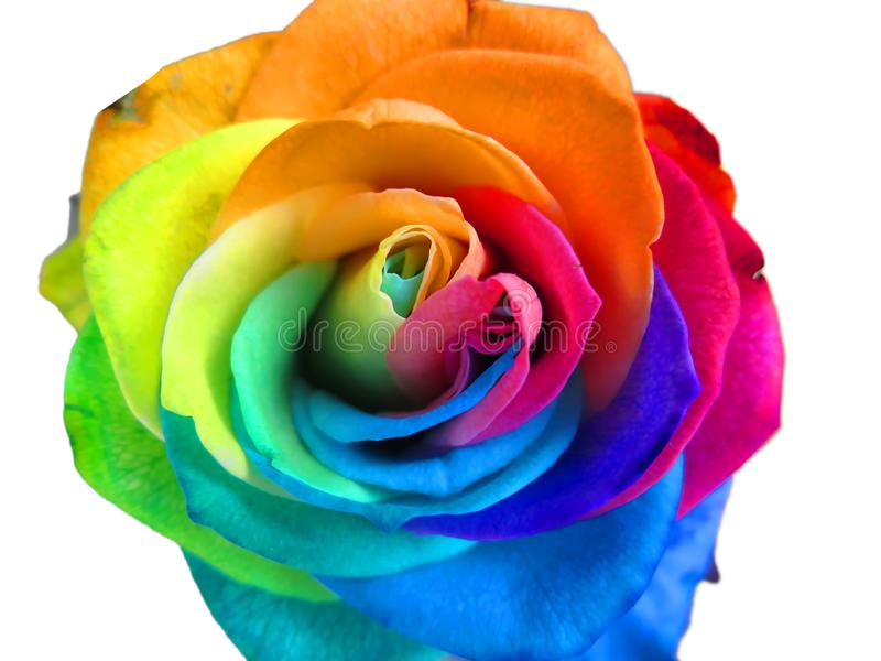 Multicolored rainbow rose royalty free stock photo