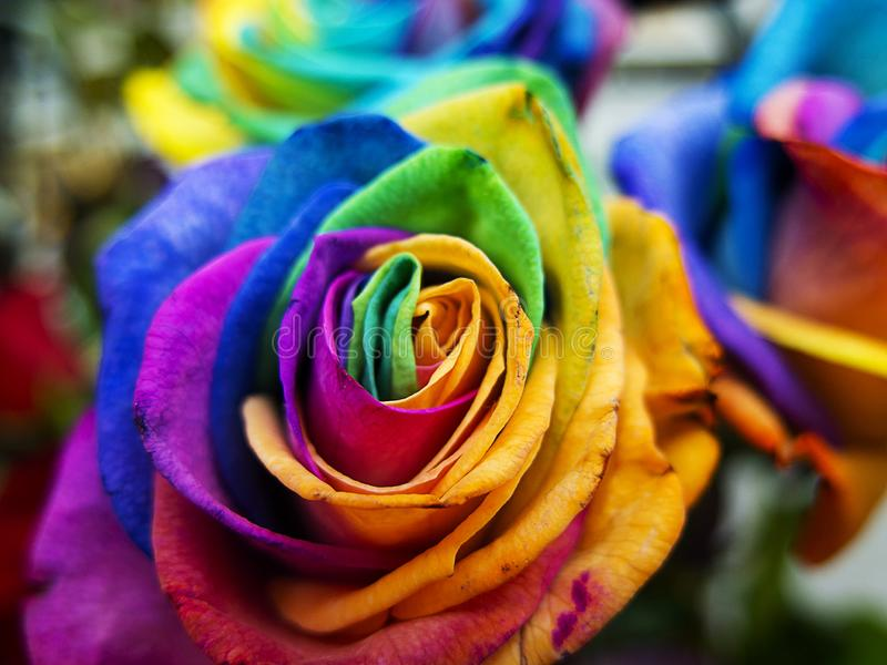 Multicolored roses in vibrant colors stock photos