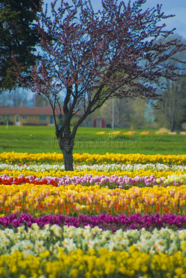 Download Multicolored Rows Of Flowers With Trees Stock Photo - Image: 4335614