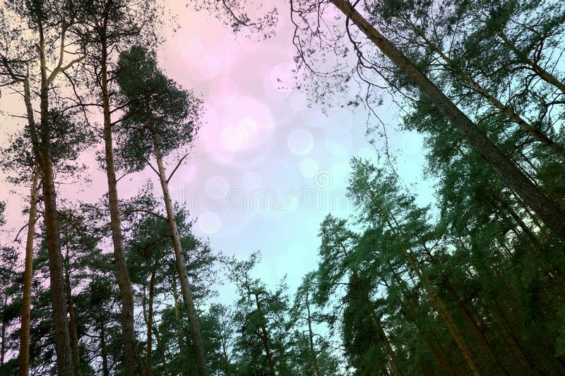 multicolored sky in the forest among the spruce stock photography