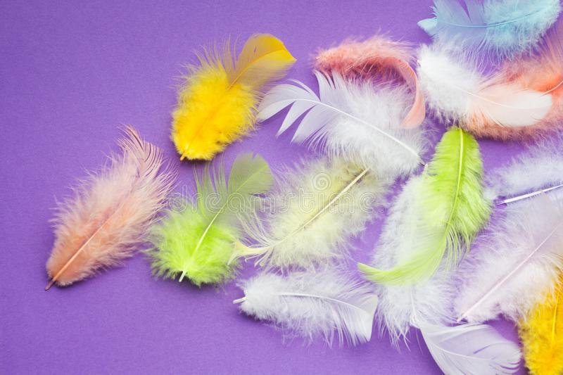 Multicolored soft parrot feathers on a purple background, space for text.  stock images