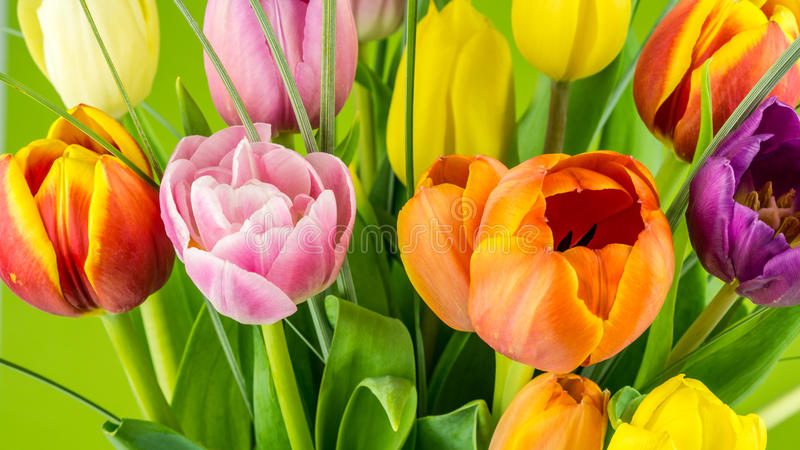 Multicolored tulips on green background. Many fresh multicolored tulips on green background stock photography