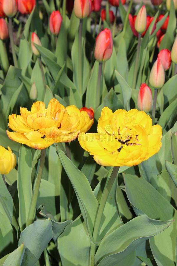 Multicolored tulips spring bloom in the garden stock photography