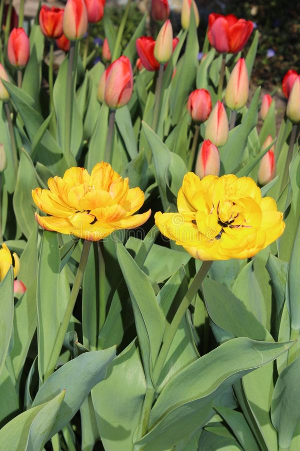 Multicolored tulips spring bloom in the garden royalty free stock image