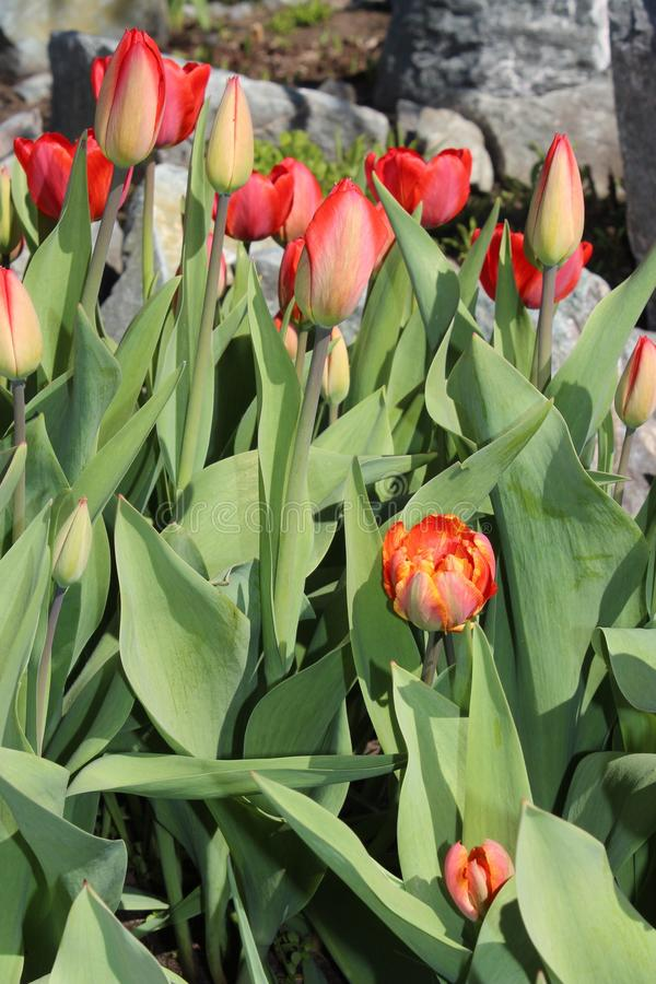 Multicolored tulips spring bloom in the garden royalty free stock photo