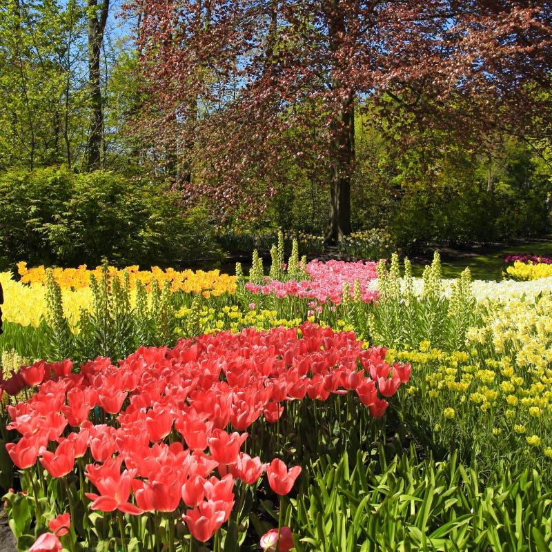 Multicolored tulpen, bomen en bloemen in de lente in Keukenho royalty-vrije stock afbeelding