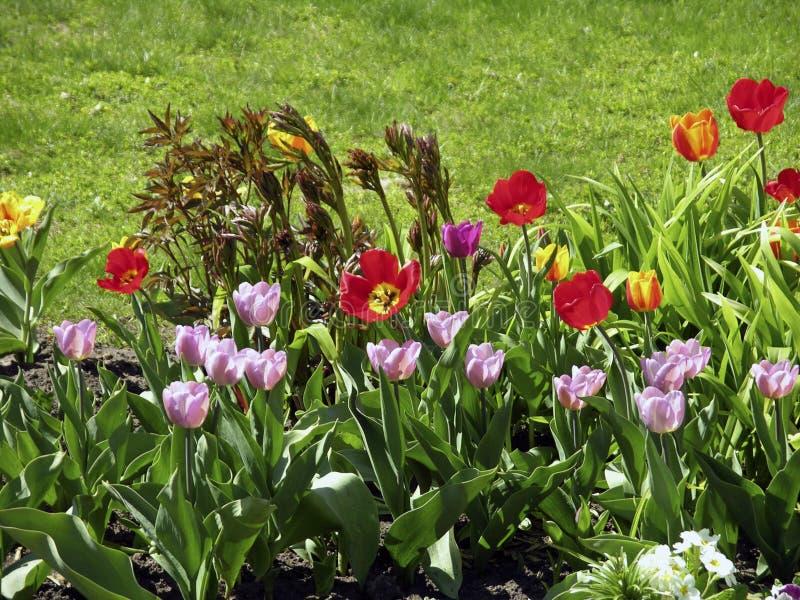 Multicolored tulpen in de weide stock afbeeldingen