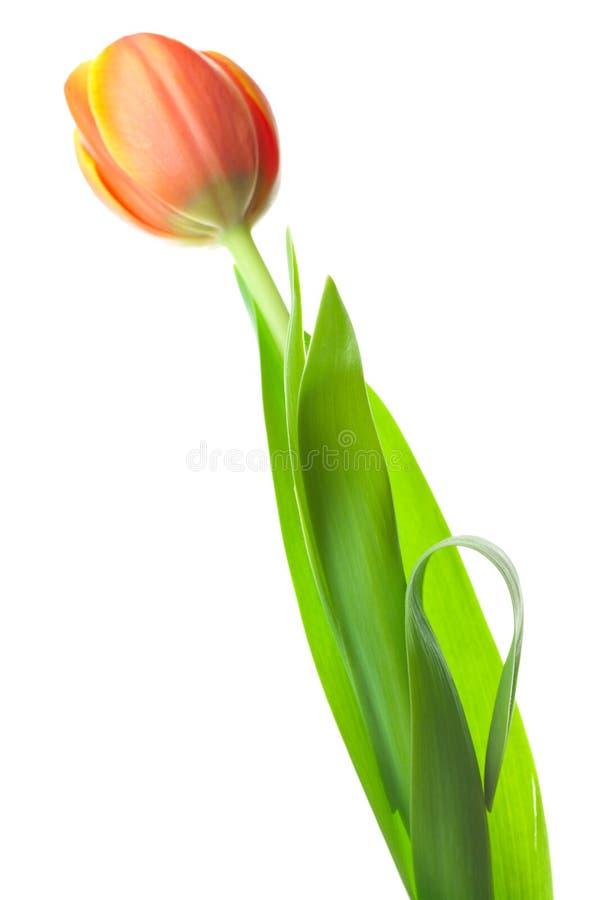 Multicolored tulpen die op wit worden geïsoleerdl stock afbeelding