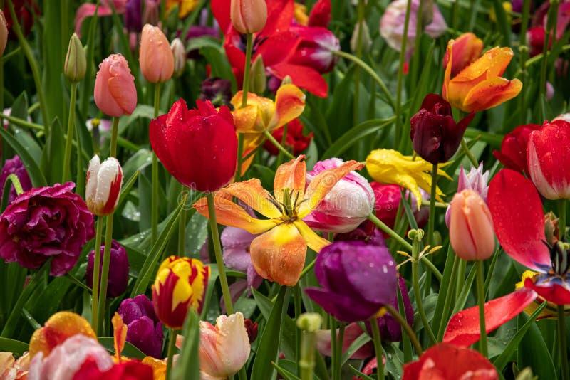 Multicolored tulpen verstrekken een kleurenexplosie stock afbeelding