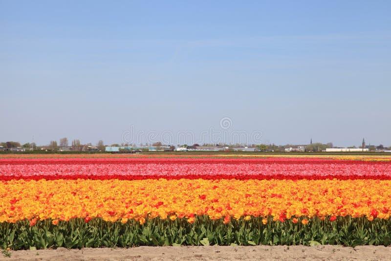 Multicolored tulpengebied in Nederland, Holland royalty-vrije stock fotografie