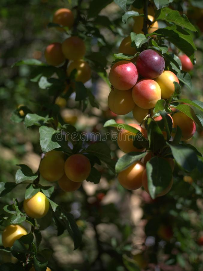 Multicoloured damson plum fruits on a tree branch. A few multicoloured damson fruits illuminated by the summer sun on the tree, against a defocused background royalty free stock image