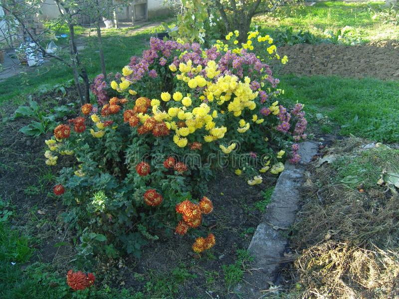 Multicoloured flowers in garden in november. Colourful garden in late autumn stock photography