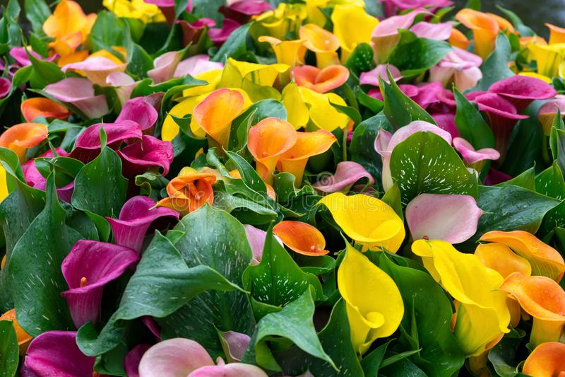Multicoloured gele, roze oranje, purpere calla bloemen als achtergrond stock foto