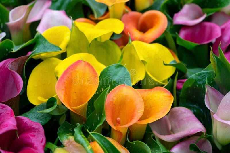 Multicoloured gele, roze oranje, purpere calla bloemen als achtergrond royalty-vrije stock fotografie